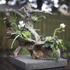 Woodland arrangement on a root structure with white cyclamen, ivory poppies, Pteris ensiformis 'Silver Lace Fern', jasmin vine, succulents, lichen and moss