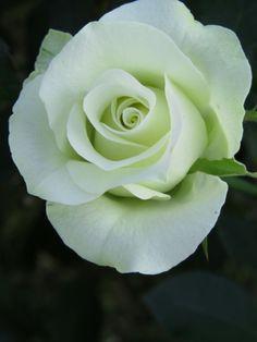 Light Green Rose 'Ryokko'