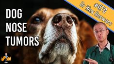Nasal tumors in dogs are more common than you might think. They are also incredibly serious. Knowing what to look out for can make all the difference in outcome, if the cancer can be picked up before it has become too advanced Parts Of The Nose, Nerve Problems, Squamous Cell Carcinoma, Head Pain, Radiation Therapy, Dog Nose, What Dogs, Health Articles