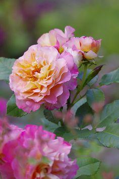 The rose Peace