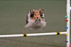 Hurdles ~ OUTSTANDING @ AGILITY & THEY LOVE IT ~
