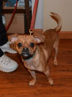 East Hartland Ct Chihuahua Papillon Mix Meet Titan A Puppy For