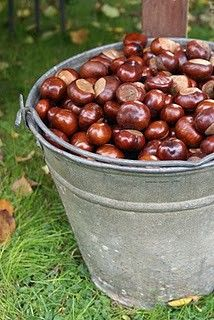 My favorite thing I did as a young girl was going to one of my neighbors house & getting Chestnuts! They were so Awesome but very hard to get without getting pricked.