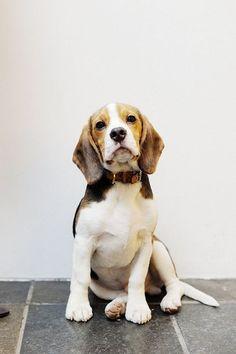 beagle pup.