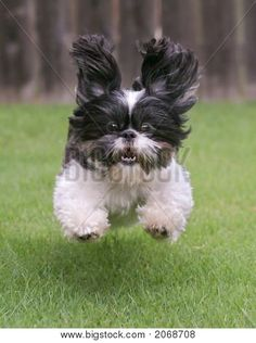 Shih Tzu love to do zoomies - run around super fast in your house or yard. Check out these photos of two super cute shih tzu dogs running. They're in a hurry to get somewhere. Chien Shih Tzu, Shih Tzu Puppy, Shih Tzus, Animals And Pets, Baby Animals, Funny Animals, Cute Animals, Wild Animals, Cute Puppies