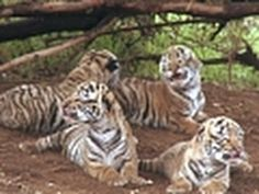 Expedition Week : COMING in NOVEMBER : http://channel.nationalgeographic.com/series/expedition-week        A seemingly impossible dream: to create a new population of wild tigers outside their natural habitat.  One man, John Varty, did just that.