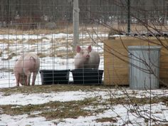 Costs of raising pigs