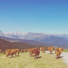 #les3vallees #myfroggy #cow