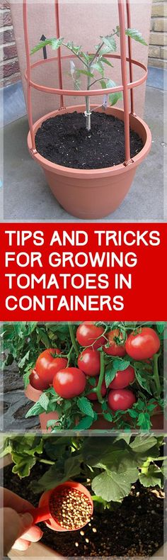 Tips and Tricks for Growing Tomatoes in Containers| Garden Ideas: Growing Tomatoes In Pots, Growing Tomatoes from Seed, Vegetable Gardening, Gardening for Beginners Vegetable, Vegetable Garden Ideas, Container Gardening, Container Gardening Vegetables #GrowingTomatoesInPots #ContainerGardening #GrowingTomatoesfromSeed