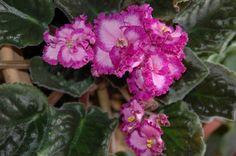 Lyons Pirates Treasure african violet