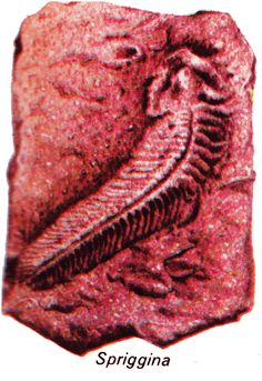 This fossil, called Spriggina, may have been an early