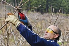 Cherry Tree Pruning: How And When To Trim A Cherry Tree-All fruiting trees need to be pruned and cherry trees are no exception. Whether sweet, sour or weeping, knowing when to prune a cherry tree and the correct method for cutting back cherries is a valuable tool. Learn more about cherry tree pruning care in this article.