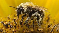 Beware the potential risks of bee pollen supplements