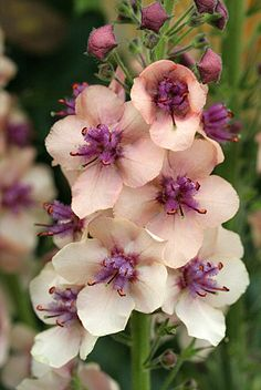 """Verbascum hybrid 'Southern Charm' super simple to grow & almost everblooming. If you cut back spent spikes it continuously sends up new ones 24""""-30"""" tall & is elegant with single blooms of either chamois, dusty rose or apricot, with fuzzy, purple eyes. One of those wonderful plants that makes you feel very successful even though you've done absolutely nothing! Perennial. Not fussy about soil, it blooms more with compost. Drought tolerant & snail resistant Sun-Brt. Shade Low-Avg.Water"""