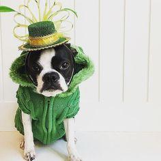 The cutest Leprechaun we have ever seen! Too cute not to repost! Happy St. Patrick's Day! : @lola.b.bostonandfamily #stpatricksday #bostonterrier #leprechaun