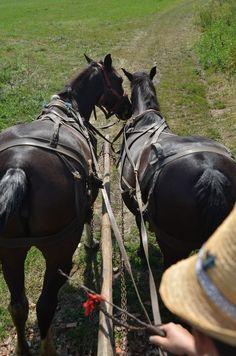 Kiskede.2017. Székely hám Horses, Animals, Animales, Animaux, Animal, Animais, Horse