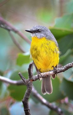 ☀Eastern Yellow Robin by David Jenkins* - 'birdsaspoetry' via flickr<3<3<3