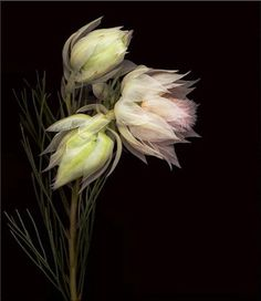 Intimacy by Joyce Tenneson blushing bride protea History Of Photography, Still Life Photography, Fine Art Photography, Female Photographers, Flower Pictures, Botanical Art, Flower Power, Something Beautiful, Photos