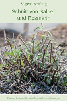 Sage and rosemary: cut herbs correctly - berling types - berlingarten shows you. Sage and rosemary Types Of Mulch, Types Of Plants, Salvia, Hydroponic Gardening, Gardening Tips, Flowers Perennials, Planting Flowers, Small Gardens, Outdoor Gardens