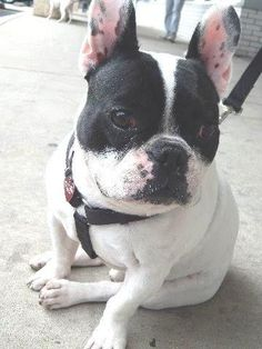 Meet Louis, an adoptable French Bulldog looking for a forever home. Dog • French Bulldog • Adult • Male • Small  Best DAWG Rescue Inc. Bethesda, MD