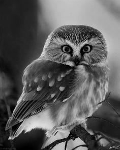 Saw-Whet Owls = cutest owls.