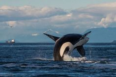 PHOTOS: Transient orcas seen frolicking off Saturna Island Orcas, Dolphin Family, San Juan Islands, Killer Whales, Under The Sea, Dolphins, Vancouver, Animals, Image