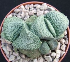 Gasteria-Armstrongii-7-7cm-clustering-seed-grown-collectors-succulent-cactus