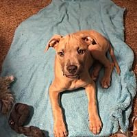 Nesquehoning, Pennsylvania - American Staffordshire Terrier. Meet Maddie, a for adoption. https://www.adoptapet.com/pet/20684652-nesquehoning-pennsylvania-american-staffordshire-terrier-mix