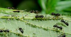Ants mastered husbandry way before us — about 50 million years ago — and they still continue farming today. Ants In Garden, Modern Farmer, Baby Powder, Before Us, Dream Garden, Gardening Tips, Plant Leaves, Creatures, Earth Science