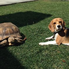 The tortoise doesn't want to play either?! Time for a trip to the dog park! #beagle #beaglepuppy #beaglesoninstagram #tortoisesdontplay