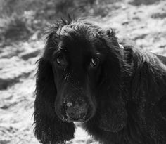 Cocker Spaniel, Marcel, Puppies, Black And White, Dogs, Photography, Animals, Cubs, Photograph