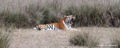 Tigers of Kanha Meadows Photo by Nirmalya Chakraborty — National Geographic Your Shot