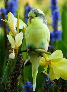 Sweet little parakeet (budgerigar)