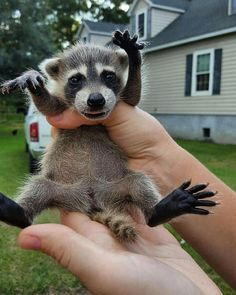 Things that make you go AWW! Cute Funny Animals, Cute Baby Animals, Animals And Pets, Strange Animals, Baby Raccoon, Tier Fotos, Cool Pets, Animals Beautiful, Pet Birds