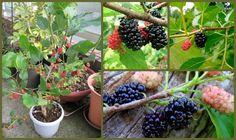 Sposata!: Jardins | Frutíferas em vasos