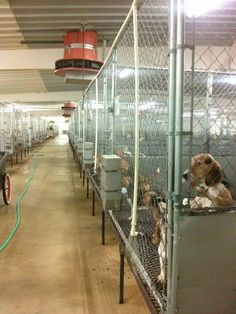 This image is from a commercial breeding facility - supplier to laboratories for their cruel experiments. Beagle Freedom Project