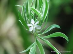Chlorophytum, air so pure. Chlorophytum, Outdoor Gardens, Bloom, Ocean, Pure Products, Winter, Flowers, Winter Time, Gardens