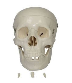 Skull Model, Skeleton Model, Human Skull, Life, Medical, Plastic, Education, Amazon, Sculptures