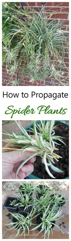 Spider are very easy to grow from their babiesplants   .  See how to get plants for free!