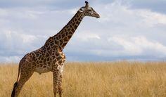 Masai Giraffe - Facts, Diet & Habitat Information