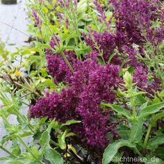 Salbei ( Salvia nemorosa ' SCHWELLENBURG ' ) | eBay