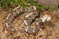 Gaboon Viper ( Bitis Gabonica) genetally docile and sluggish. Has the  longest fangs of any venomous snakes with enormous venom glands.