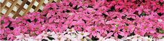Princettia® series - Suntory® Flowers Limited. Princettia® is an exciting new series from Suntory® Collection featuring naturally-compact plants with excellent branching and more flowers.
