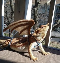 I am totally getting one for my lizard this weekend! Bearded Dragon Wings w/ leash pick your by MadamVastrasBoutique