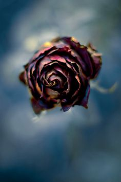 Rose by Luis Mariano González on 500px