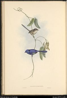 Malurus splendens. Plate from Gould, John, 1804-1881. The Birds of Australia : in seven volumes. by John Gould.