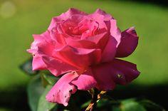 Rose Halima, Les fleurs - Philippe Chailland - MonSitePhotos