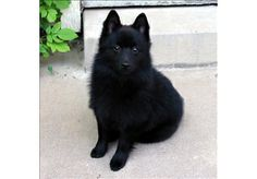 schipperke dog photo | Schipperke Photo Gallery