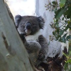 'Koala - Magpie Springs - Adelaide Hills Wine Region - Fleurieu Peninsula - South Australia' by MagpieSprings Presents For Teachers, Baby Presents, Presents For Kids, Australian Insects, Australian Animals, Buy Gifts Online, National Portrait Gallery, South Australia, Magpie