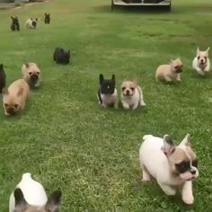 At first I thought they were rabbits... I was pleasantly surprised 😍 TAG A DOG LOVER 🐶 #frenchie #frenchies #frenchiesofinstagram #instafrenchie #dog #dogs #instadogs #dogsofinstagram #dogstagram #dogs_of_instagram #lovedogs #pup #instapuppy #puppies #puppy #bulldog #bulldogs @frenchbulldog.love